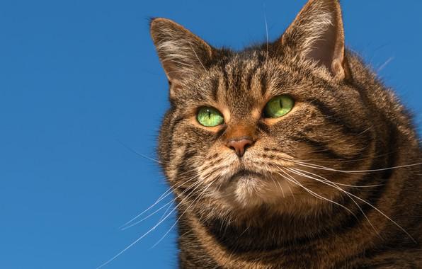 Картинка кот, взгляд, фон, портрет, мордочка, важный, котофеич