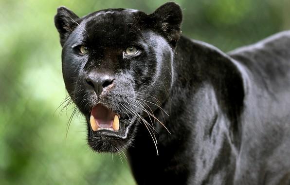 Картинка взгляд, морда, Ягуар, клыки, дикая кошка, Чёрная пантера