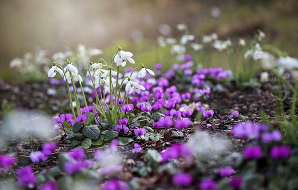Картинка цветы, природа, весна, подснежники, цикламены, Jacky Parker