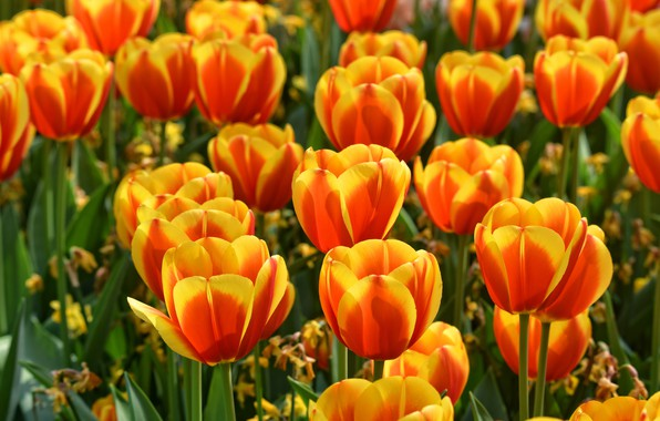 Картинка поле, вода, цветы, яркие, позитив, весна, сад, тюльпаны, оранжевые, бутоны, клумба, много, огненные, двухцветные, пламенные