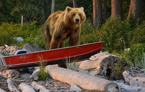 Картинка лес, деревья, природа, лодка, медведь, кусты, бурый, коряги