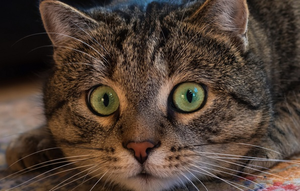Картинка кот, взгляд, мордашка, котэ, глазища, котейка