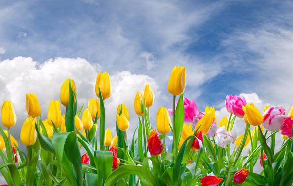 Картинка облака, цветы, тюльпаны, бутоны, цветение