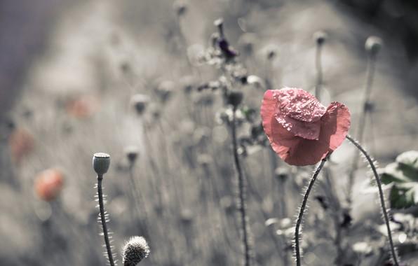Картинка природа, цвет, маки