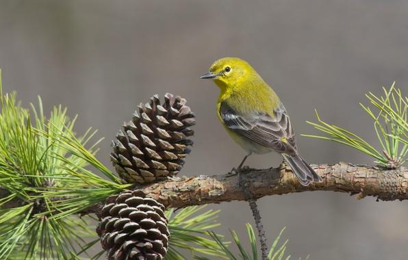 Картинка птицы, ветка, шишки, сосна, сосновый лесной певун