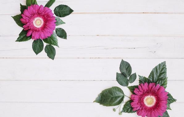 Картинка герберы, цветки, листики