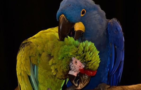 Картинка птицы, попугаи, by Nushaa
