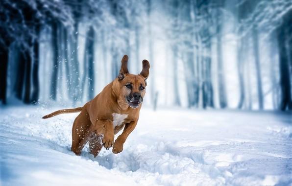 Картинка зима, снег, собака, бег, прогулка, Родезийский риджбек