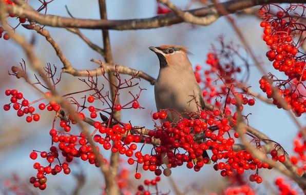 Картинка природа, ягоды, птица, рябина, свиристель