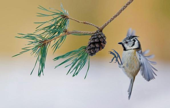 Картинка птица, Франция, ветка, шишка, сосна, хохлатая синица