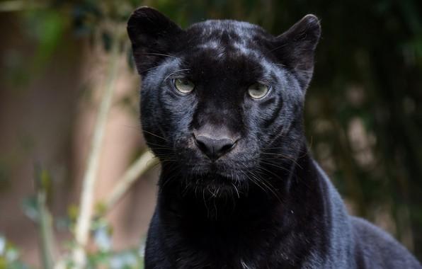 Картинка морда, портрет, хищник, пантера, дикая кошка, зоопарк, чёрный леопард