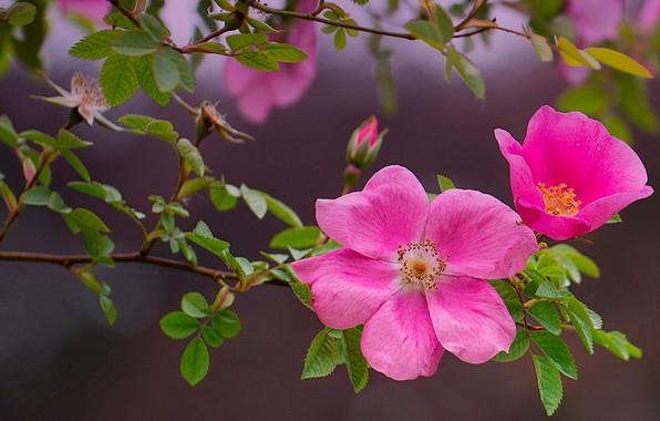 Картинка листья, ветки, природа, фон, куст, шиповник, розовые, цветки, боке