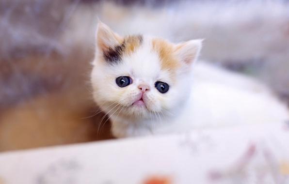Картинка кошка, белый, кот, взгляд, котенок, фон, глазки, маленький, мордочка, милый, носик, котёнок, пятнистый, комочек, пусик