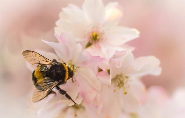 Картинка цветок, природа, лепестки, сад, насекомое, шмель