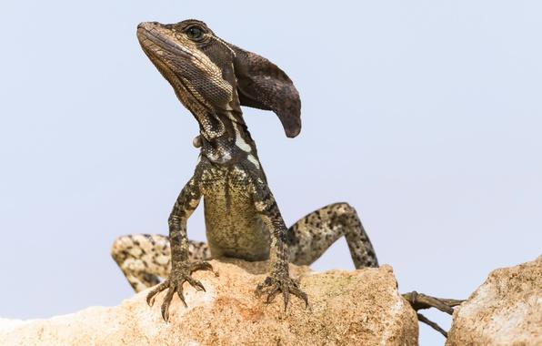 Фото обои природа, ящерица, василиск, Jezus Christ Lizard, Basiliscus basiliscus