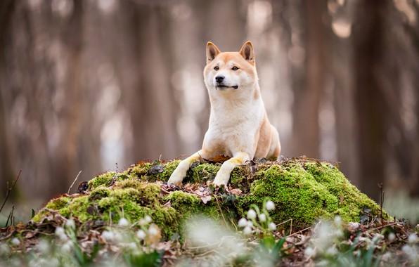 Картинка лес, взгляд, морда, цветы, природа, парк, фон, мох, пень, собака, весна, лапы, подснежники, щенок, лежит, …