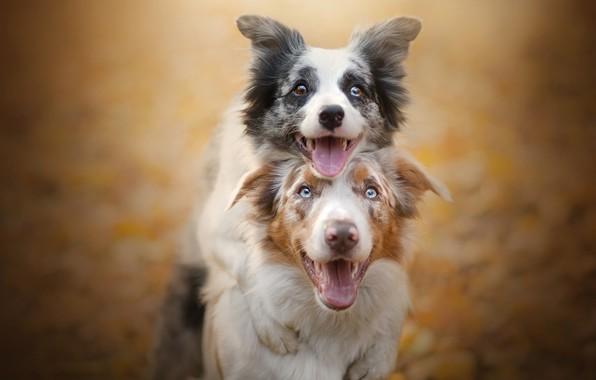 Картинка собаки, радость, парочка, друзья, боке, две собаки, Бордер-колли
