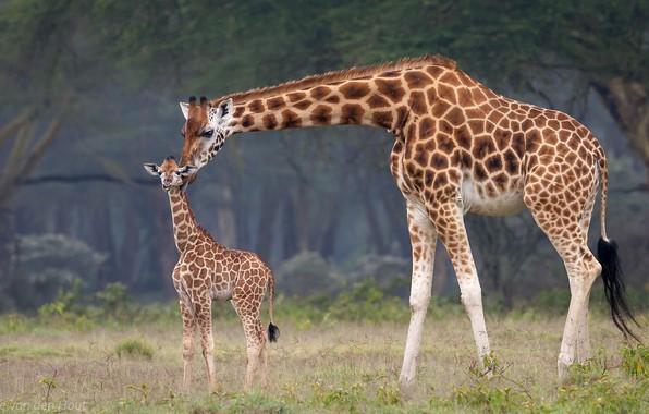 Картинка малыш, жирафы, африка, мама