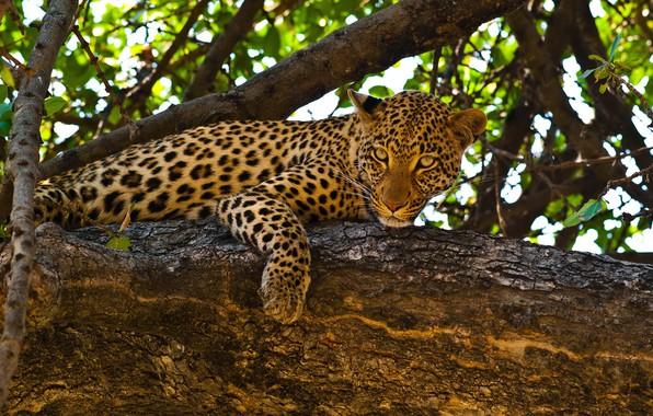 Картинка листья, ветки, природа, хищник, леопард, лежит, на дереве