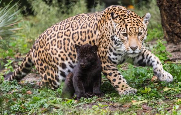 Картинка кошки, природа, малыш, мама, ягуары