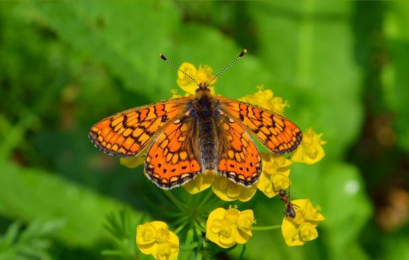 Картинка Макро, Цветы, Весна, Бабочка, Муравей, Flowers, Spring, Macro, Butterfly