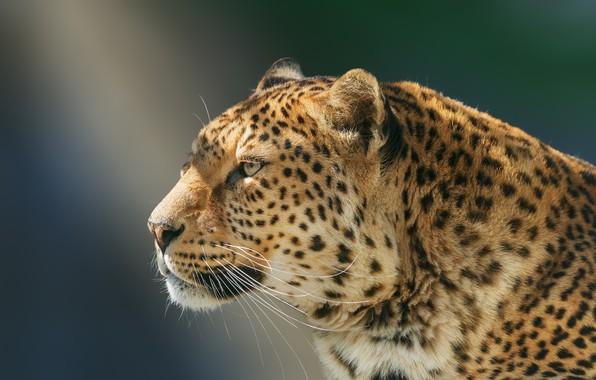 Картинка взгляд, морда, фон, портрет, леопард, профиль, дикая кошка, красавец