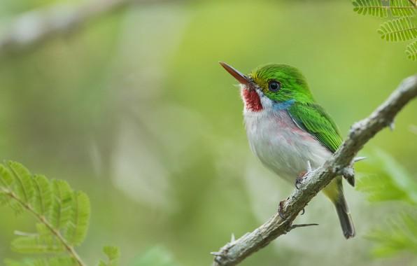 Картинка листья, природа, ветка, птичка, кубинский тоди, Patrick Lhoir