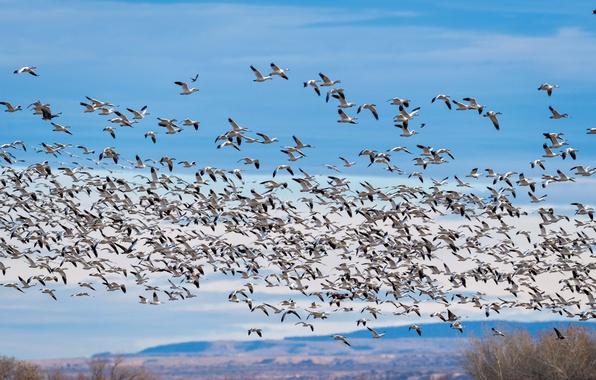 Картинка полет, птицы, стая, гуси