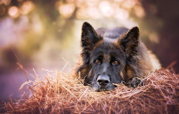 Картинка взгляд, морда, собака, сено, Немецкая овчарка