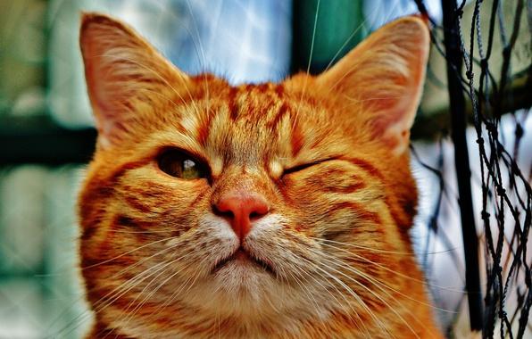 Фото обои кот, рыжий, домашнее животное, кошка