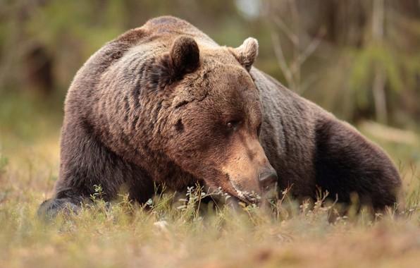 Картинка медведь, зверь, топтыгин