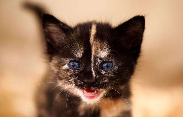 Картинка взгляд, фон, малыш, мордочка, котёнок