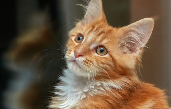 Картинка взгляд, портрет, рыжий, мордочка, котёнок, Мейн-кун