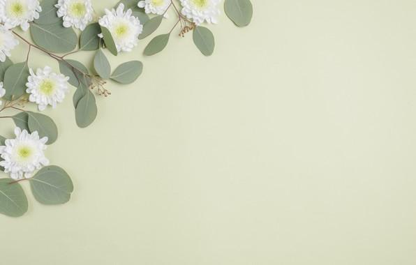 Картинка Цветы, Листья, Фон, Хризантемы