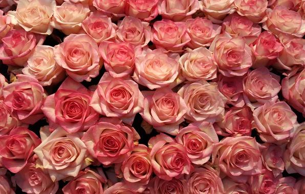 Картинка цветы, роза, розы, лепестки, розовые, бутоны, много
