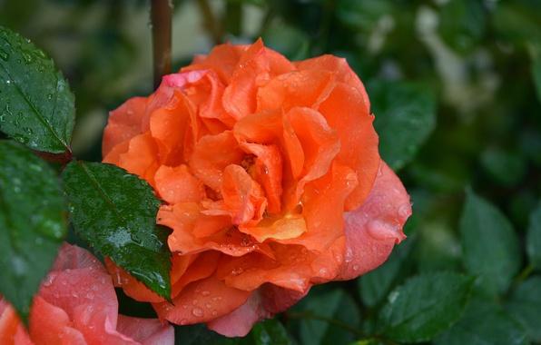 Картинка Роза, Drops, Rain drops, Orange rose, Капли дождя