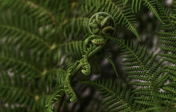 Картинка листья, макро, природа, папоротник