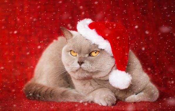 Картинка кот, фон, портрет, колпак, серьёзный, Британская короткошёрстная кошка