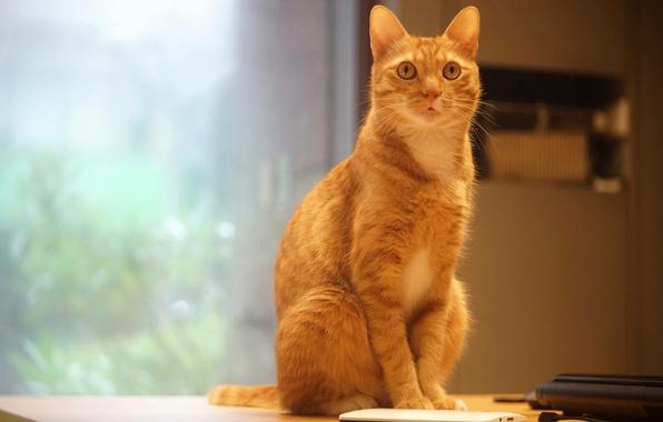 Картинка кошка, белый, кот, взгляд, поза, стол, стена, окно, рыжий, офис, телефон, сидит, электроника, гаджет, помещение, …