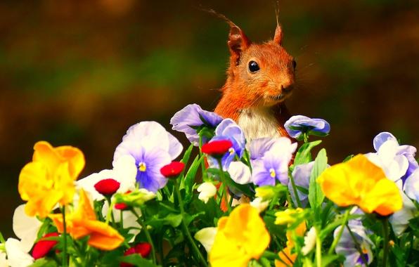 Картинка цветы, белка, мордочка, рыжая, анютины глазки