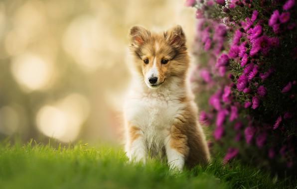 Картинка цветы, щенок, боке, Шелти, Шетландская овчарка