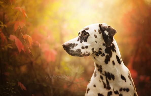 Картинка морда, портрет, собака, профиль, боке, Далматин