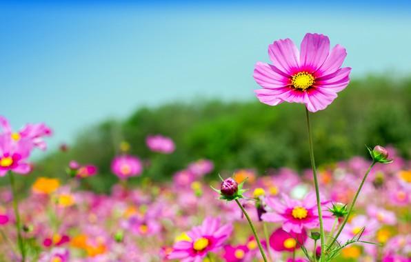 Картинка поле, лето, небо, солнце, цветы, summer, розовые, field, pink, flowers, cosmos