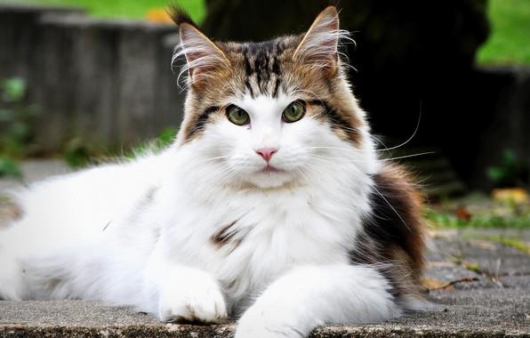 Картинка кошка, взгляд, пушистая