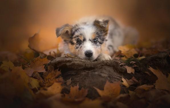 Картинка осень, взгляд, листья, щенок, мордашка, пёсик, Австралийская овчарка
