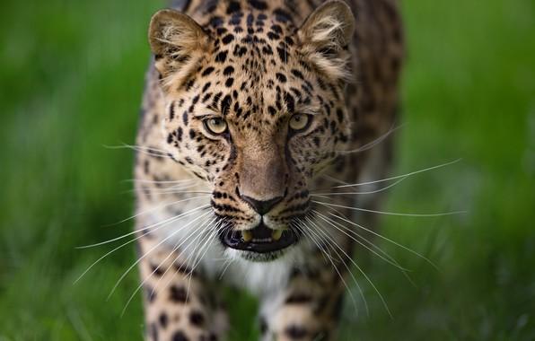 Картинка усы, взгляд, морда, фон, Леопард, дикая кошка