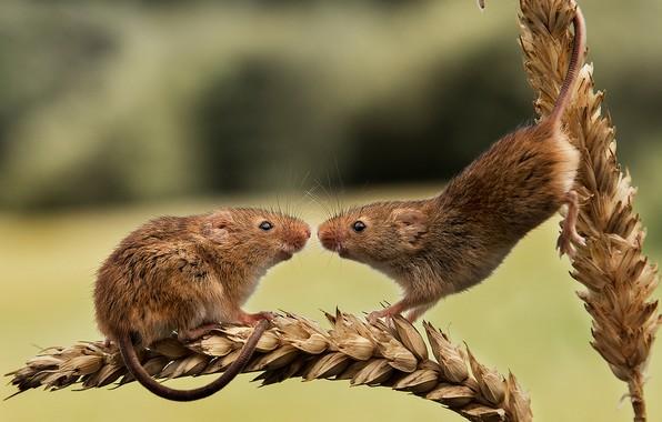 Картинка пара, колосья, грызуны, Harvest Mouse, Мышь-малютка, две мышки
