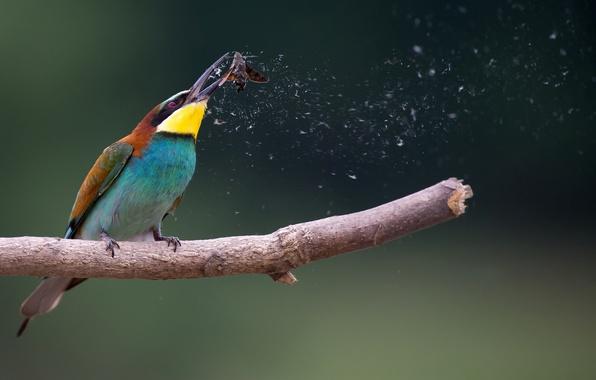 Картинка фон, птица, ветка, щурка золотистая, моль