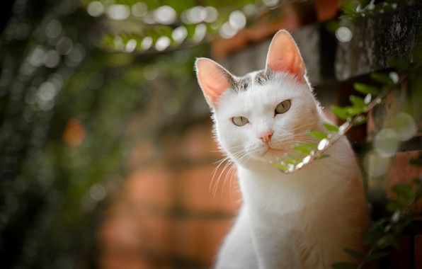Картинка кошка, взгляд, боке, белая кошка