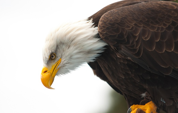 Картинка eye, wildlife, bald eagle, beak, hunting